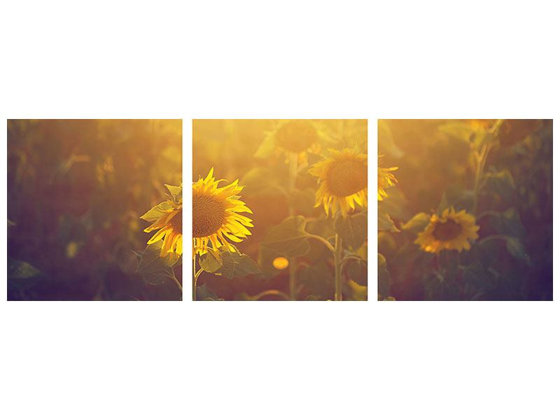 Panoramic 3 Piece Acrylic Print Sunflower In Golden Light