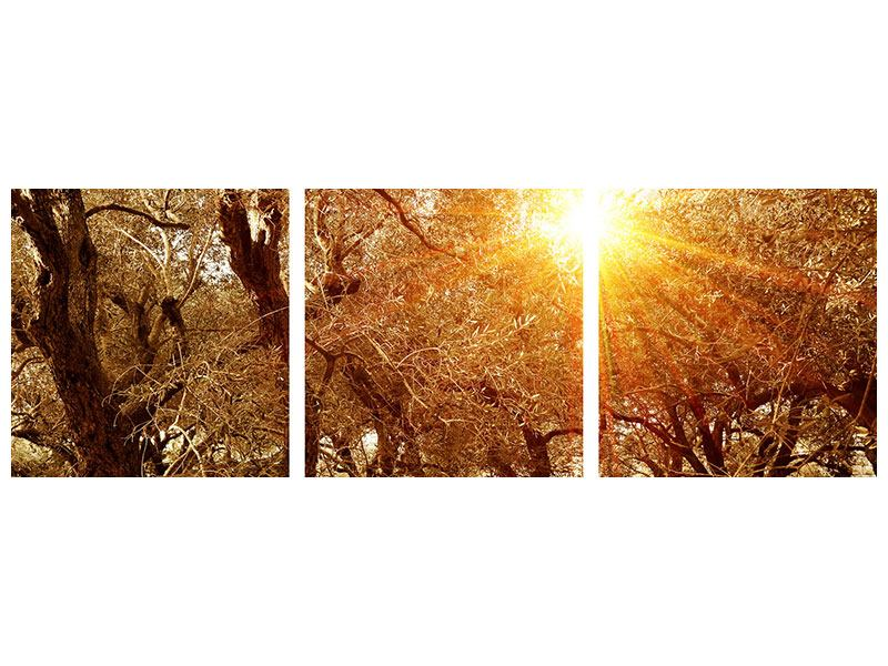Panoramic 3 Piece Acrylic Print Olive Trees In Autumn Light