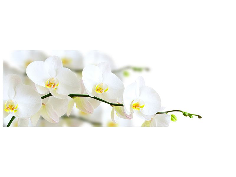 Stampa su Forex Panoramica Orchidee bianche
