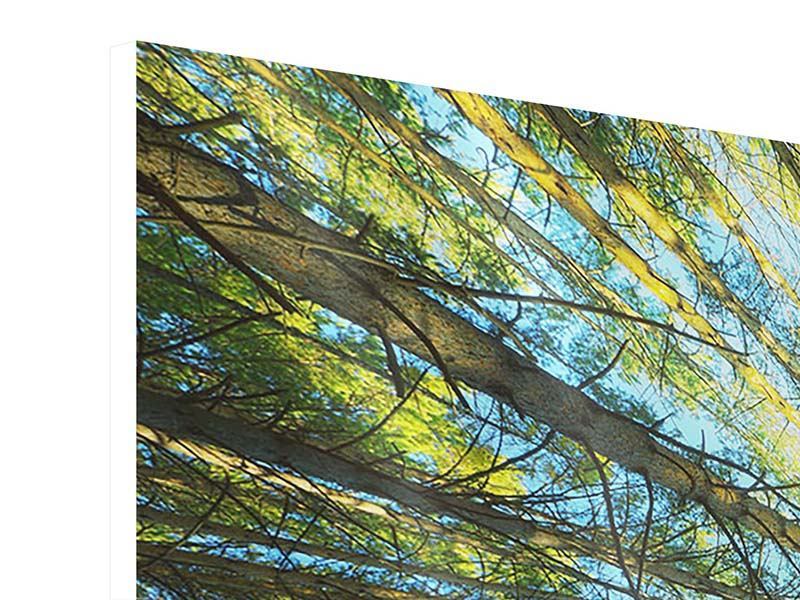 Panoramic Forex Print Pine Forest
