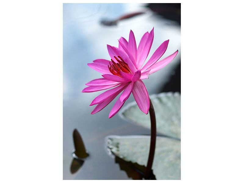 Leinwandbild Grosse Lotus in Pink